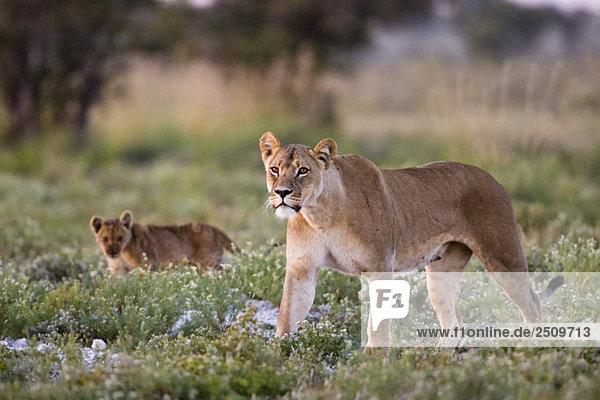 Africa  Botswana  Lioness (Panthera leo) and cub