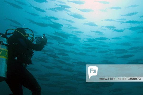 Galapagos Inseln  Ecuador  Taucher fotografiert Fischschwarm