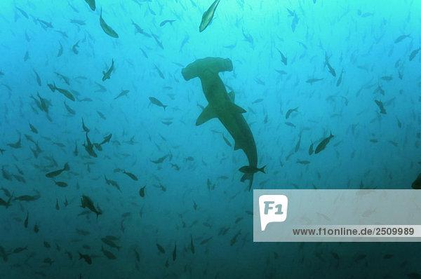 Galapagos Islands  Ecuador  Scalloped Hammerhead shark (Sphyrna lewini)