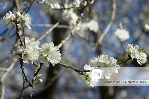 Deutschland  Bayern  Apfelblüte  Nahaufnahme