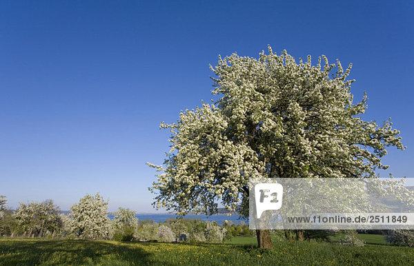 Deutschland  Bodensee  Hoeri  Blütezeit