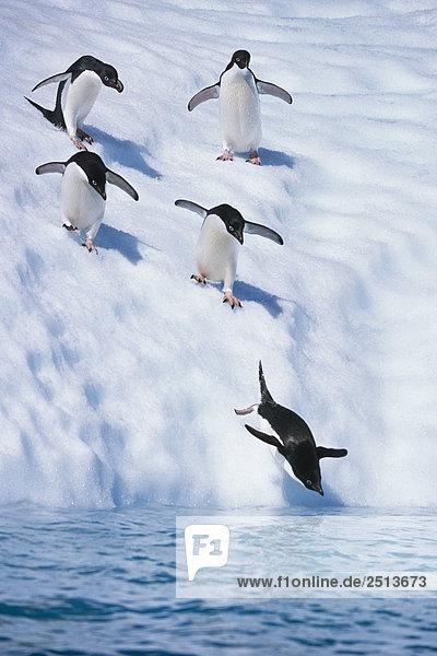 Linie der Adeliepinguine zu Fuß nach unten Iceberg in Wasser South Atlantic Antarktis Sommer Tauchen Linie der Adeliepinguine zu Fuß nach unten Iceberg in Wasser South Atlantic Antarktis Sommer Tauchen