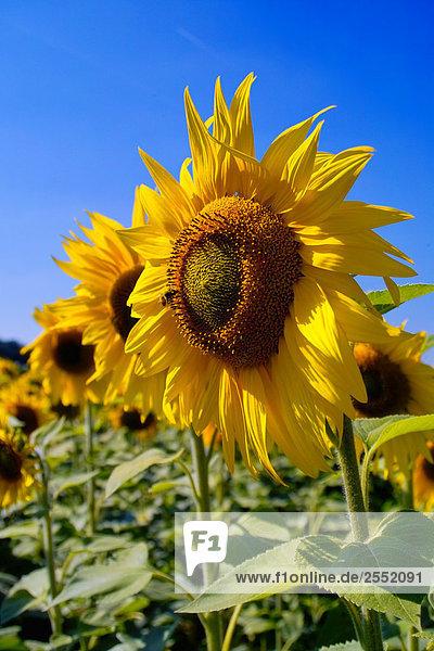 Sunflowers (Helianthus annus) blooming in field