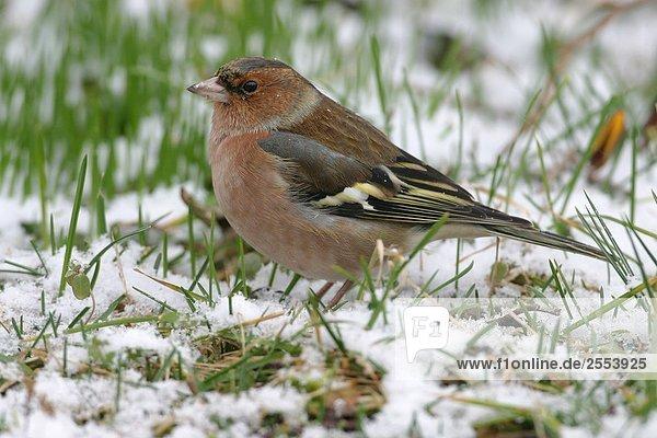 Nahaufnahme der Buchfink (Fringilla Coelebs) auf Schnee