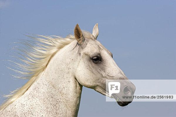 Lipizzan horse - portrait