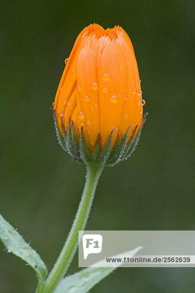 Ringelblume - Blüte