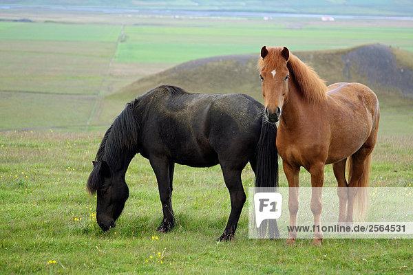 zwei Isländer auf Wiese