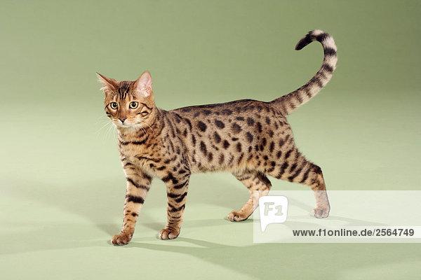 Bengalkatze - stehend