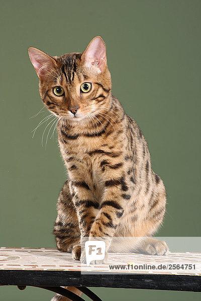 Bengalkatze - sitzend auf Tisch