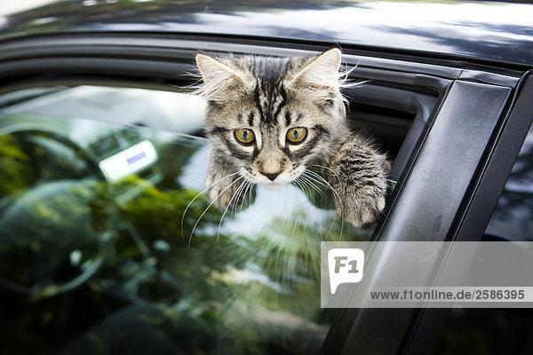Kätzchen auf Autofenster Klettern