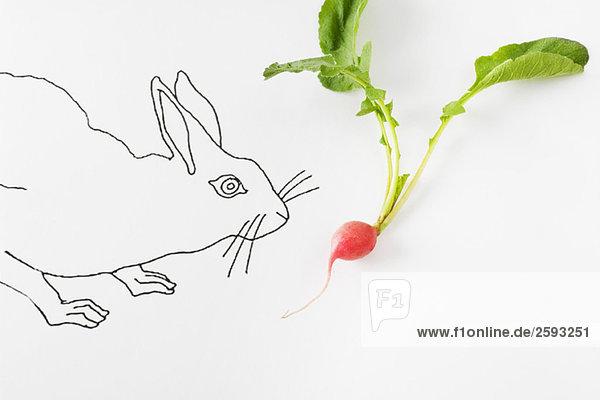 Zeichnung von Kaninchen riechendem frischem Rettich
