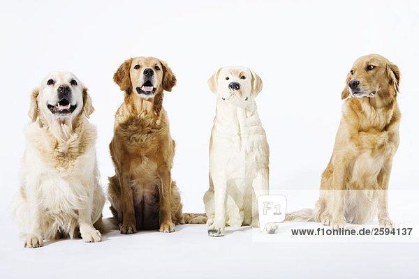 Drei echte Golden Retriever und ein gefälschter Keramikhund