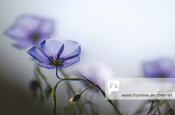 Blaue Blumen im Morgenlicht