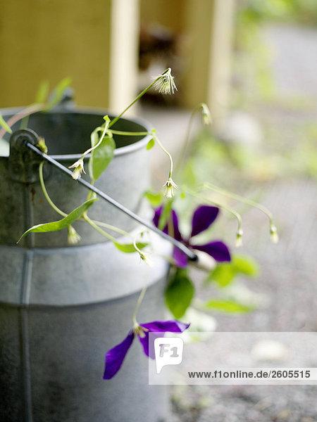 Blume Garten Milch Schweden