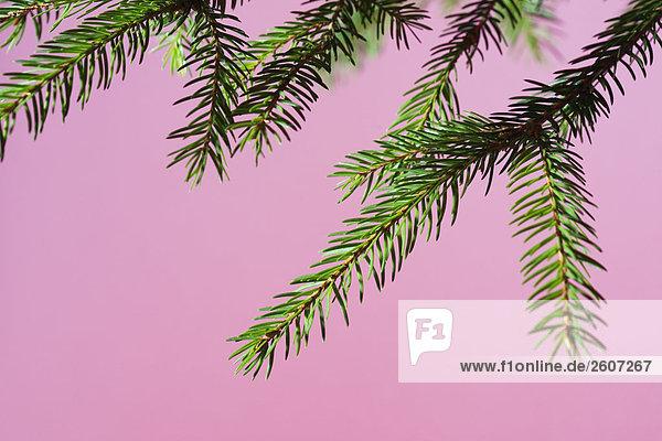 Tannenspitzen vor rosa Hintergrund  Nahaufnahme
