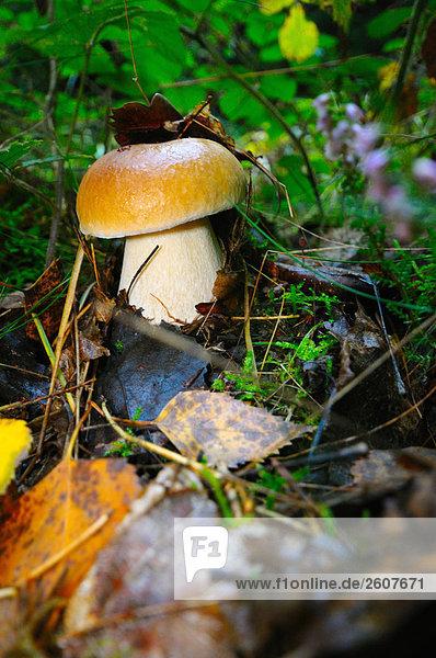 Nahaufnahme der Pilz wächst im Feld