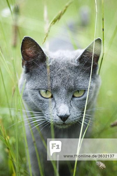 Katze läuft durchs Gras  starrt in die Kamera.