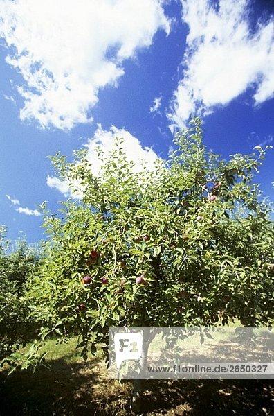 Cortland Apfelbaum mit Äpfeln