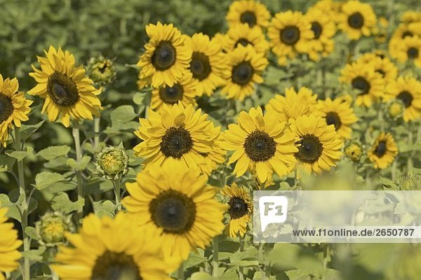 Viele Sonnenblumen auf dem Feld