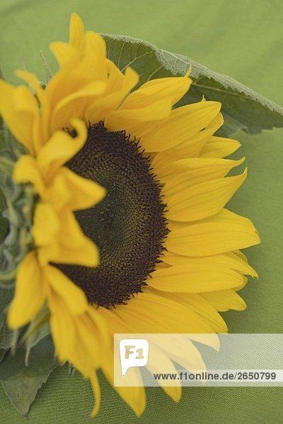 Eine Sonnenblume vor grünem Hintergrund