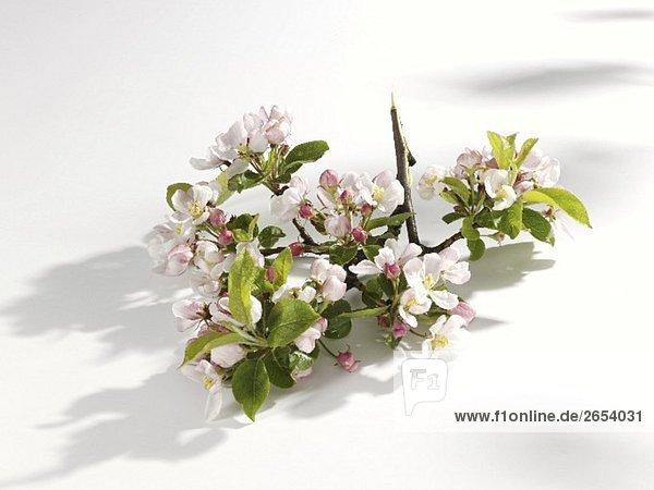 Apfelblüten am Zweig