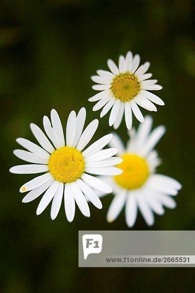 Gänseblümchen-Blume Bellis perennis