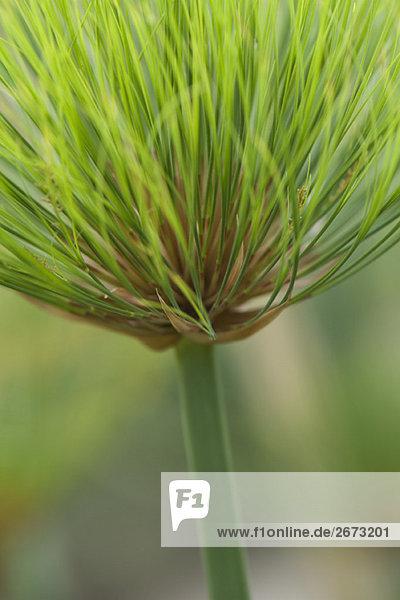 Papyrus plant (cyperus papyrus)  close-up