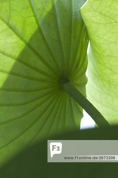 Unterseite der Nasturtium Pflanze  Nahaufnahme Unterseite der Nasturtium Pflanze, Nahaufnahme