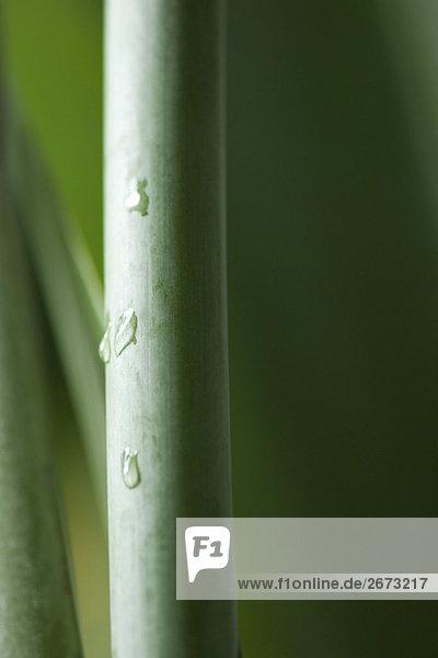 Wasser-Tröpfchen auf Pflanzen Stengel  Nahaufnahme Wasser-Tröpfchen auf Pflanzen Stengel, Nahaufnahme