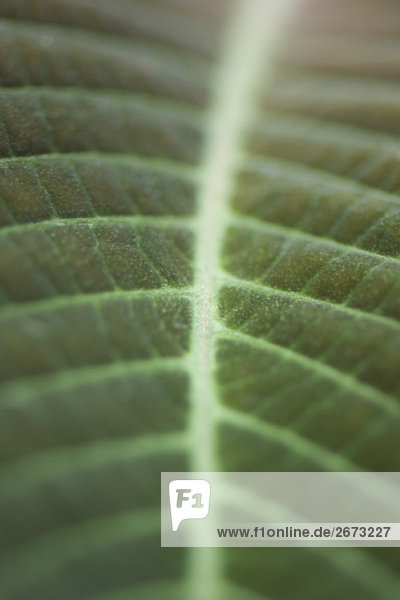 Leaf veins  extreme close-up