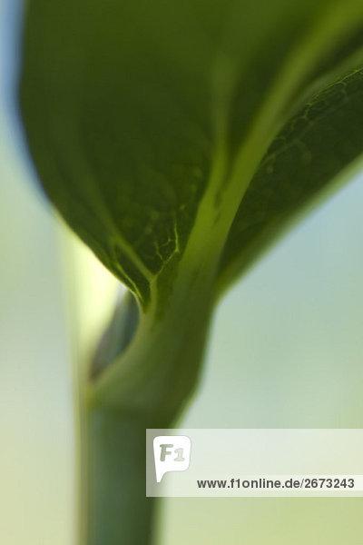 Unterseite des Blattes auf Stamm  extreme Nahaufnahme wachsen Unterseite des Blattes auf Stamm, extreme Nahaufnahme wachsen
