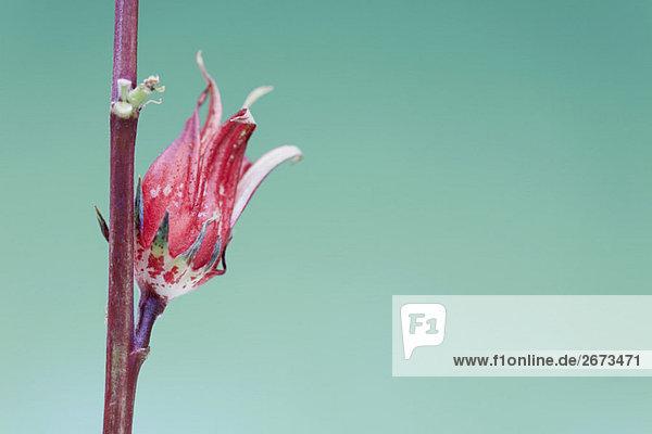Exotische red Tropische Blume Blüte aus rot stengel