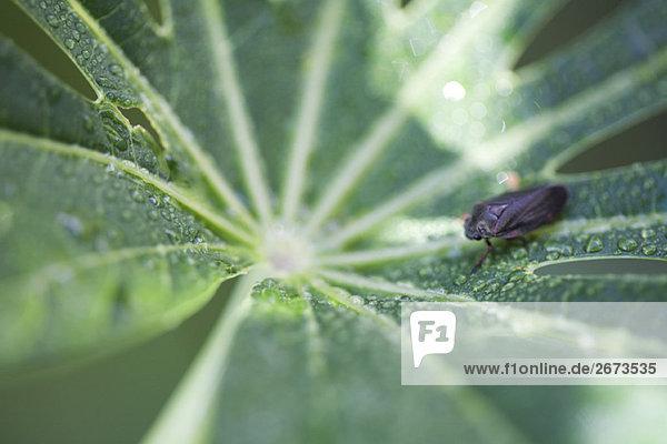 Kleine insekt kriechen über Tau Drop geschnürt Manioka leaf