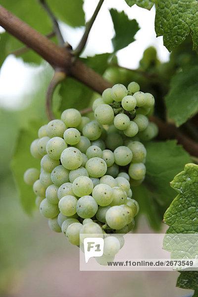 Chardonnay-Trauben auf Weinrebe