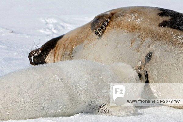 Sattelrobbe (Phoca Groenlandica)  weibliche und Pup. Magdalenen-Inseln  Québec  Kanada