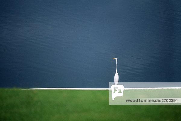 Ein weißer Egret ist in der Nähe von einem Teich auf der Insel Jamaika gesehen.