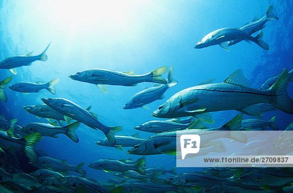 Unterwasseraufnahme Fischschwarm unterwasser