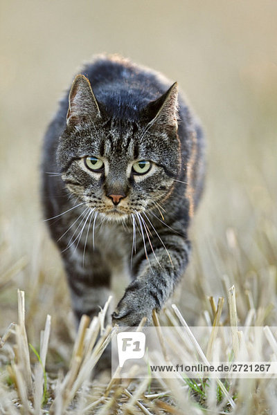 Katze auf dem Feld,  Nahaufnahme, Katze auf dem Feld,  Nahaufnahme