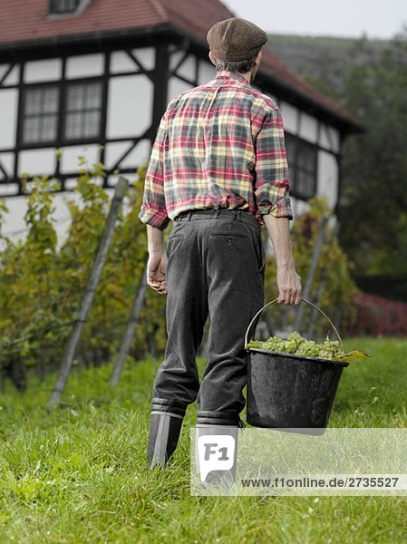 A vintner carrying a bucket of grapes  rear view