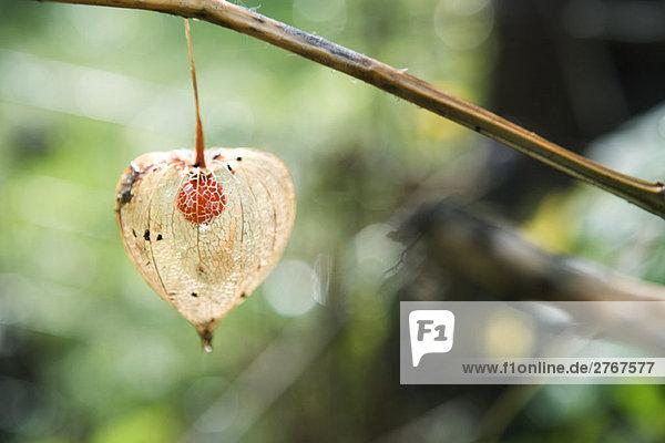 Winter Cherry (Physalis Alkekengi) Winter Cherry (Physalis Alkekengi)
