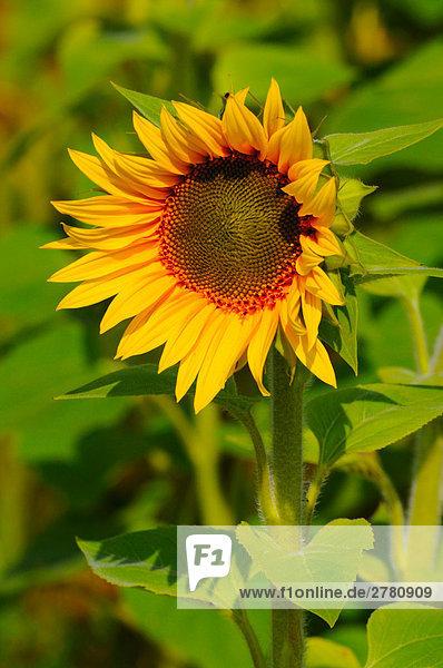 Nahaufnahme blooming Sonnenblume (Helianthus Annus)