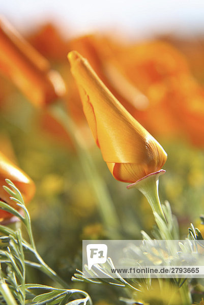 Close up of orange flower