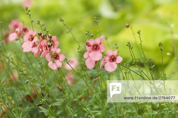 Diascia  pink flowers