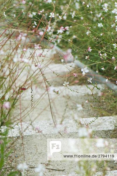 Wirbelnden Schmetterlinge (Gaura Lindheimeri) Wirbelnden Schmetterlinge (Gaura Lindheimeri)