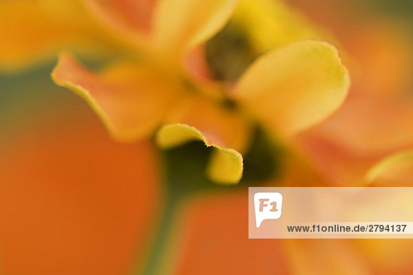 Yellow and orange flower  extreme close-up