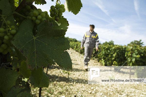Frankreich  Champagne-Ardenne  Aube  weiße Trauben am Rebstock  Mann auf Weinbergpfad im Hintergrund