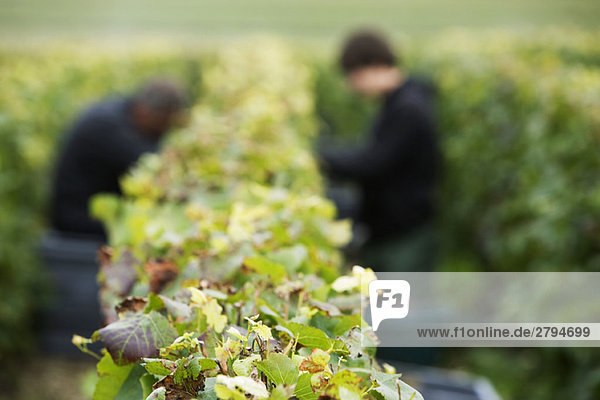 France,  Champagne-Ardenne,  Aube,  workers picking grapes in vineyard,  focus on foreground
