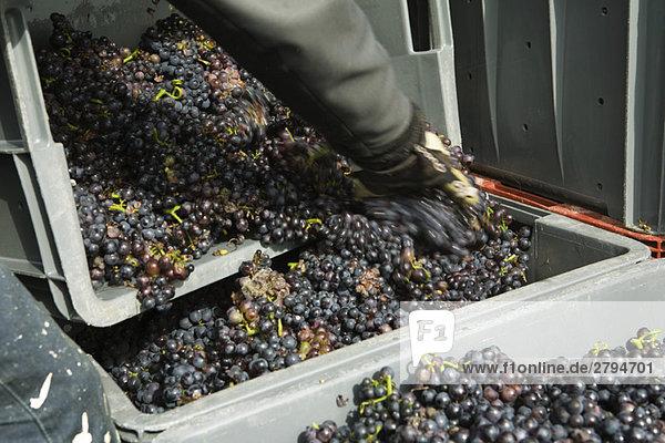 Arbeiter beim Umsetzen der Trauben in große Behälter  geerntet