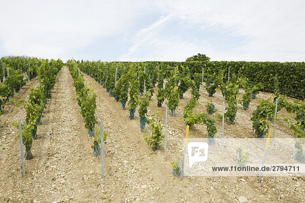 France,  Champagne-Ardenne,  Aube,  young grapevines in vineyard