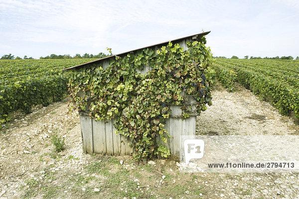 Frankreich  Champagne-Ardenne  Aube  bewachsener Schuppen im Weinberg